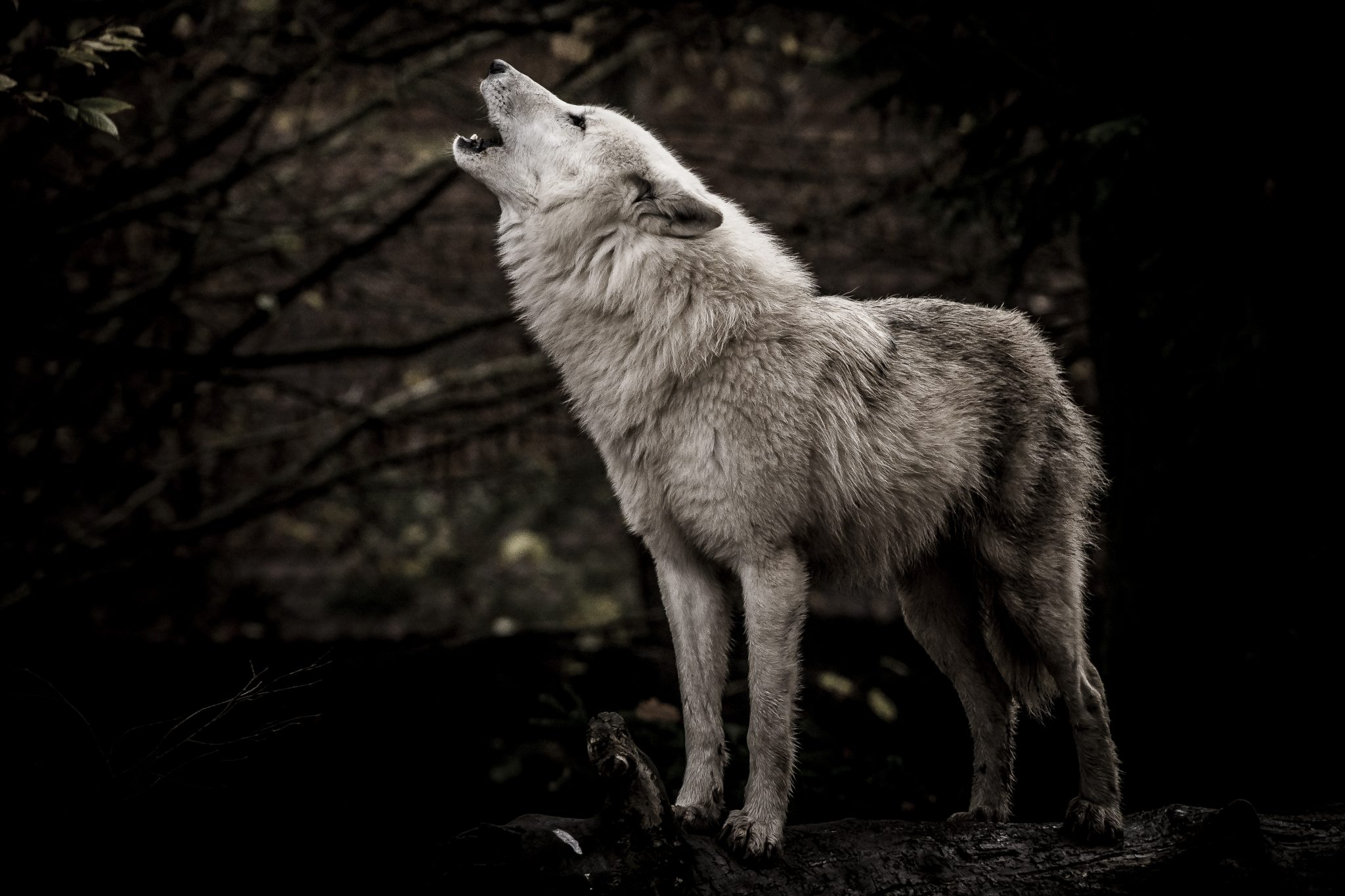 オオカミに育てられた人間はオオカミになる